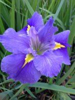 'BYRON BAY' Louisiana Water Iris