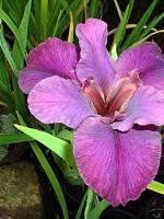 'CONCOURS D'ELEGANCE' Louisiana Water Iris