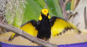 Regent Bower Bird open winged