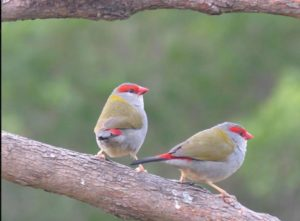 Red Browed Finches or Fire-tails