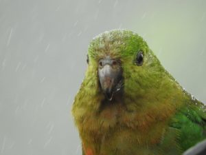 Female King parrot in the rain