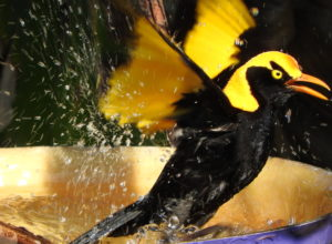 Regent Bower Bird bathing