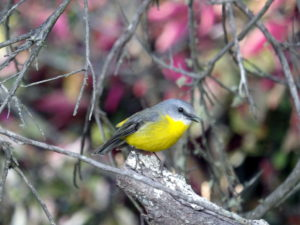 Yellow-breasted Robin