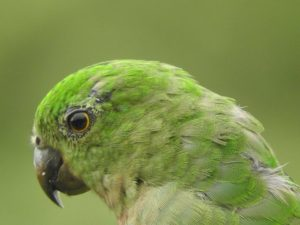 Female King Parrot 3