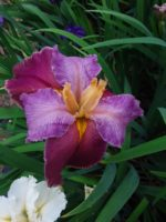 'Danielle' Louisiana Water Iris