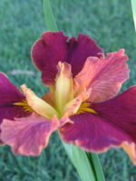 'Dazzling Star' Louisiana Water Iris