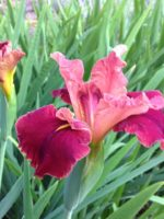'Peaches In Wine' Louisiana Water Iris