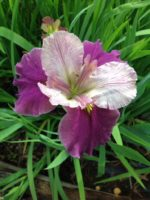'Tantra' Louisiana Water Iris