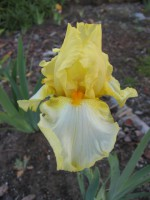 VENERABLES Tall Bearded Iris