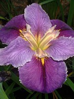'CHARGE D'AFFAIRE' Louisiana Water Iris