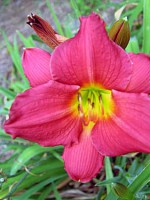 DOUBLE OH SEVEN (miniature) Daylily