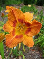 GINGERBREAD MAN Daylily