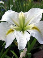 'Good Doctor' Louisiana Water Iris