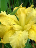 'Koorawatha' Louisiana Water Iris