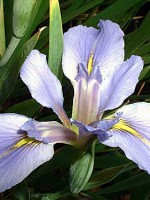 LAKE QUACHITA Louisiana Water Iris