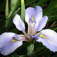 LAKE QUACHITA (low growing variety)