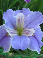 'Now And Forever' Louisiana Water Iris