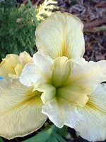 'Professor Barbara' Louisiana Water Iris