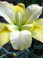 'Professor Fritchie' Louisiana Water Iris