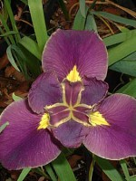 'Ragin' Cajun' Louisiana Water Iris