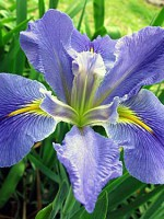 'Sinfonietta' Louisiana Water Iris