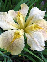 'Spring Welcome' Louisiana Water Iris