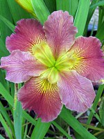 'Stop And Go' Louisiana Water Iris