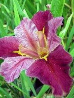 'Top Notch' Louisiana Water Iris