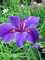 'True Reward' Louisiana Water Iris