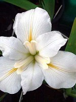 'White Heaven' Louisiana Water Iris