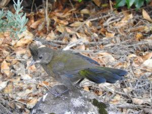 Baby Whipbird