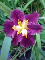 'Coonawarra Claret' Louisiana Water Iris
