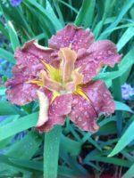 'Dance Carmen Dance' Louisiana Water Iris