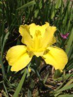 'Gilt Ingot' Louisiana Water Iris