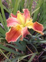 'High Rank' Louisiana Water Iris