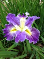 'Imagined Oceans' Louisiana Water Iris