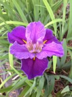 'Migrant Home' Louisiana Water Iris