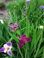 Mystery Pack of Louisiana Water Iris