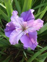 'Seasick Pat' Louisiana Water Iris