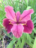surprise caller louisiana water iris
