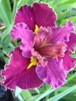 'Tamarillo Tango' Louisiana Water Iris
