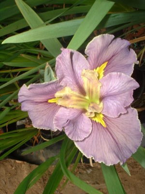 Well dressed Louisiana water Iris