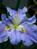 'Blue Mountain Mist' Louisiana Water Iris