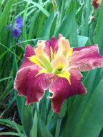 'Jazz Hot' Louisiana Water Iris