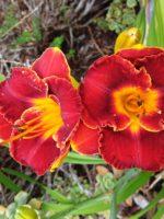 Hot Scheme daylily