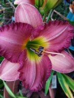 Magic Filigree daylily