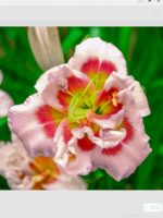 Forty Second Street daylily