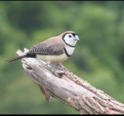 B1 Double-barred finch